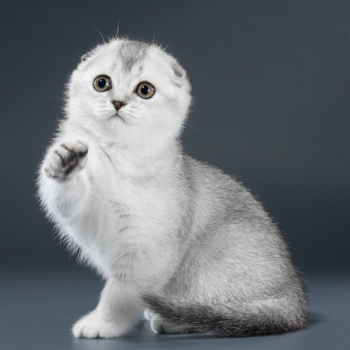 scottish fold ns25