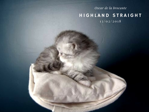 chaton male highland straight