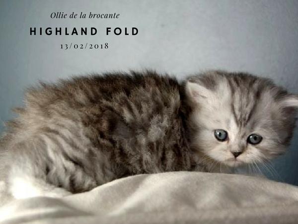 Ollie femelle highland fold de la brocante