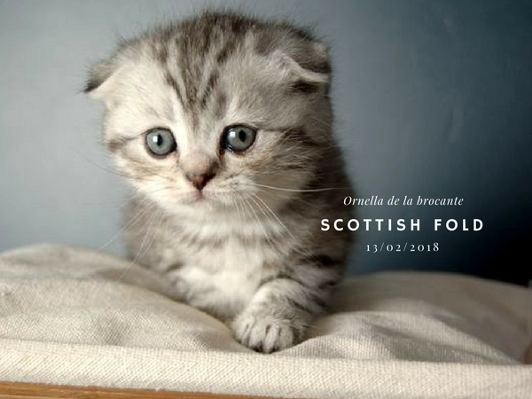 Ornella scottish fold