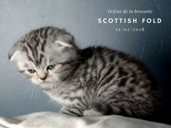 chaton Scottish fold femelle