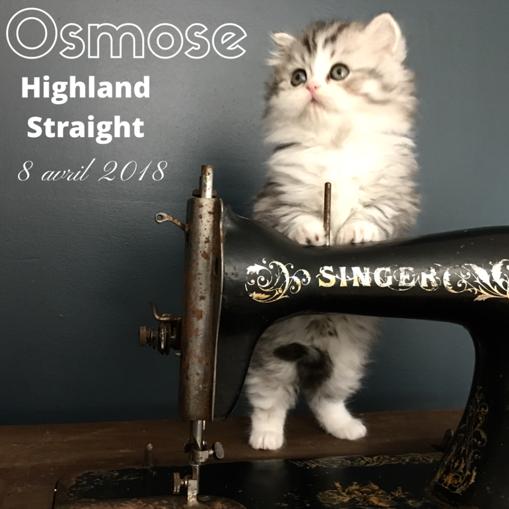 Chaton highland straight Osmose