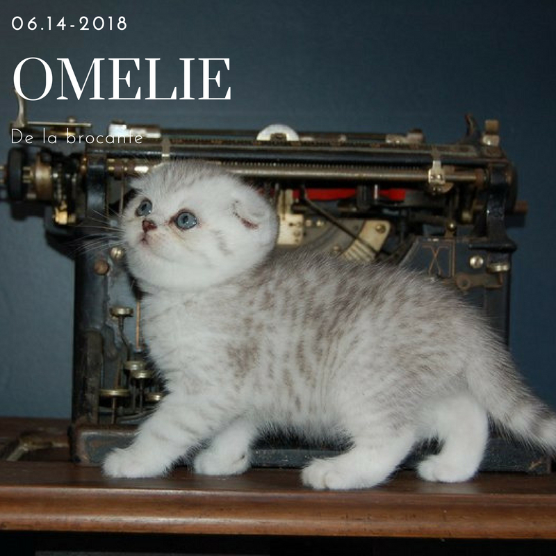 scottish fold omelie