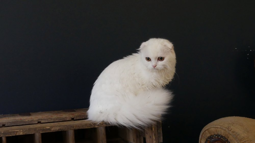 highland-fold-blanc