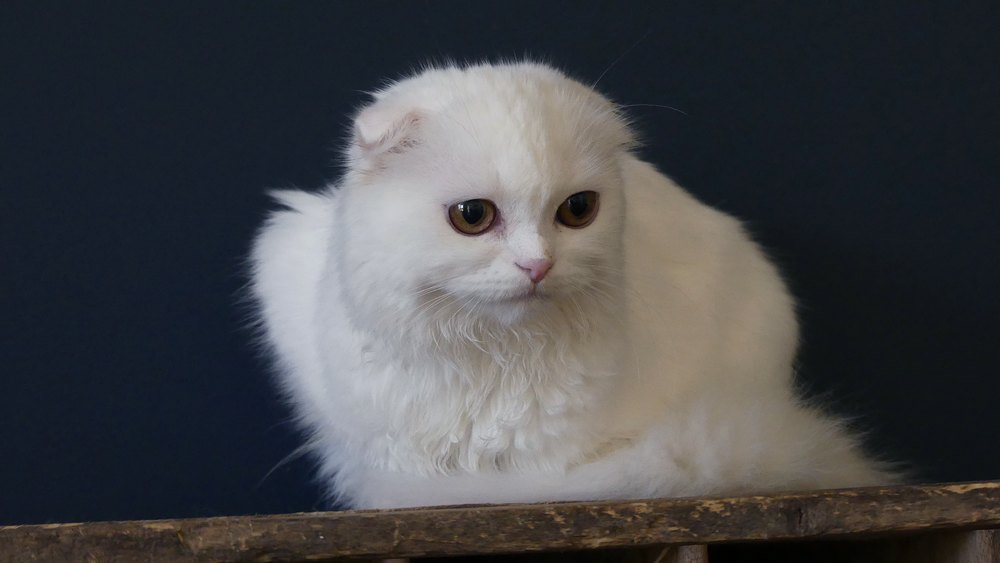 scottish-fold-blanc