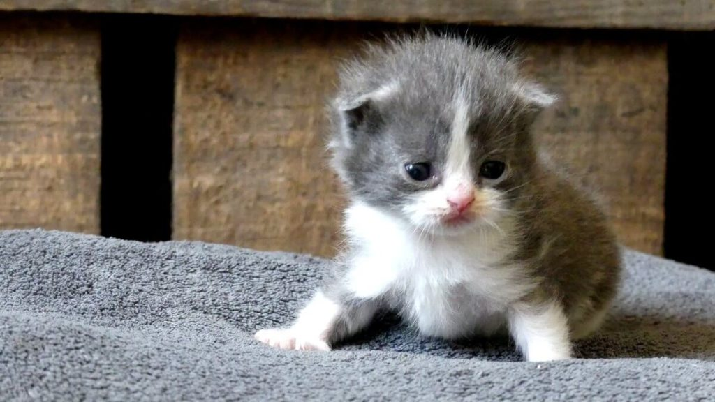 chaton scottish bleu et blanc
