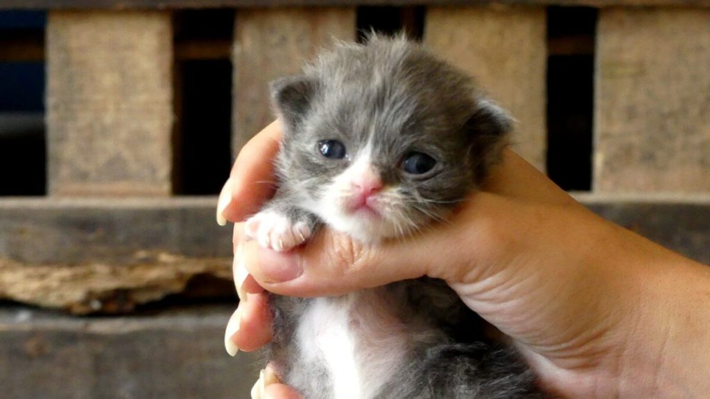 chaton bleu et blanc