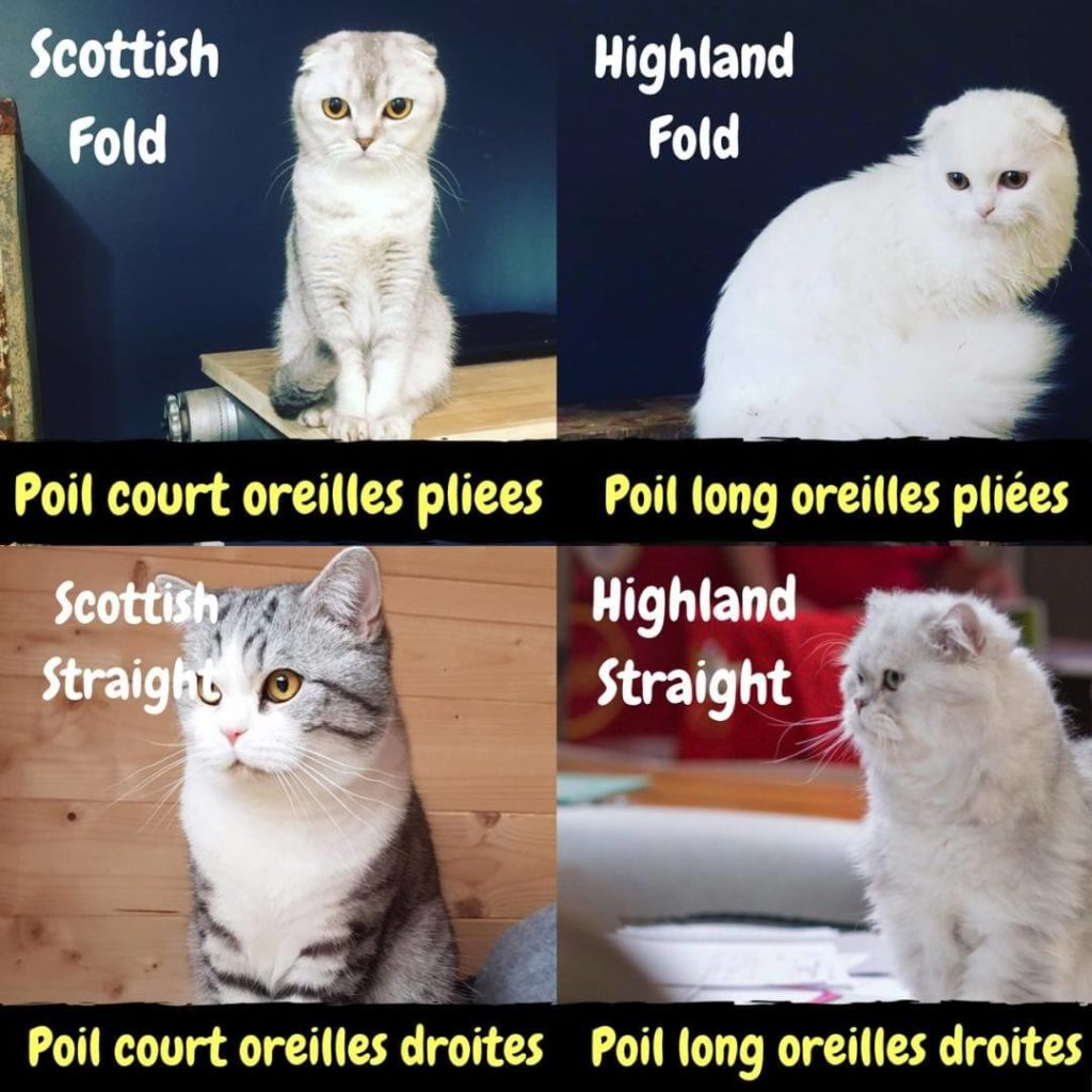 scottish fold race